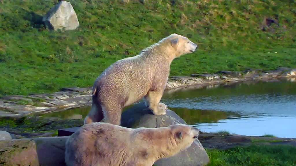polar bear on a rock