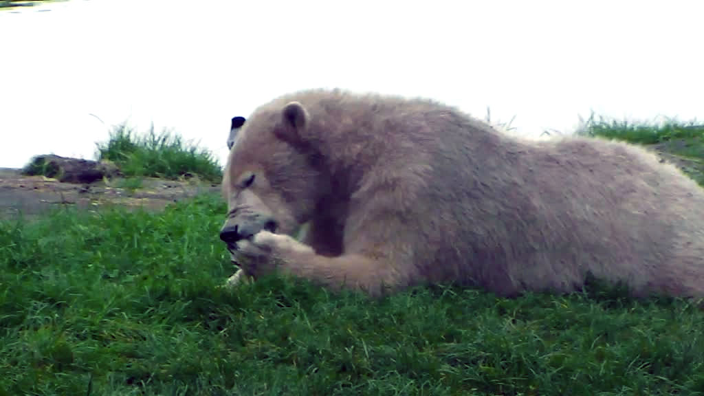 polar bear cleaning his paw