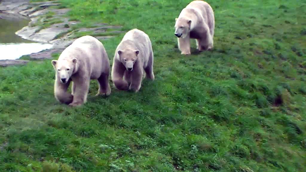 Polar bear family out for a walk.