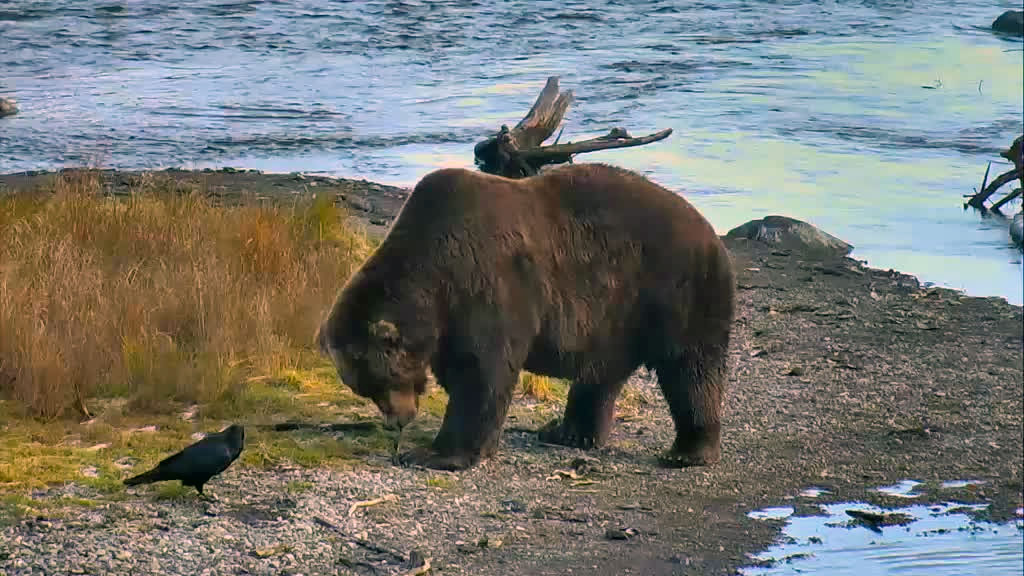 Large bear searching through the grass.
