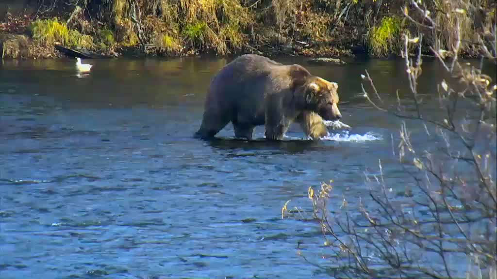 A brown bear wading through the water.