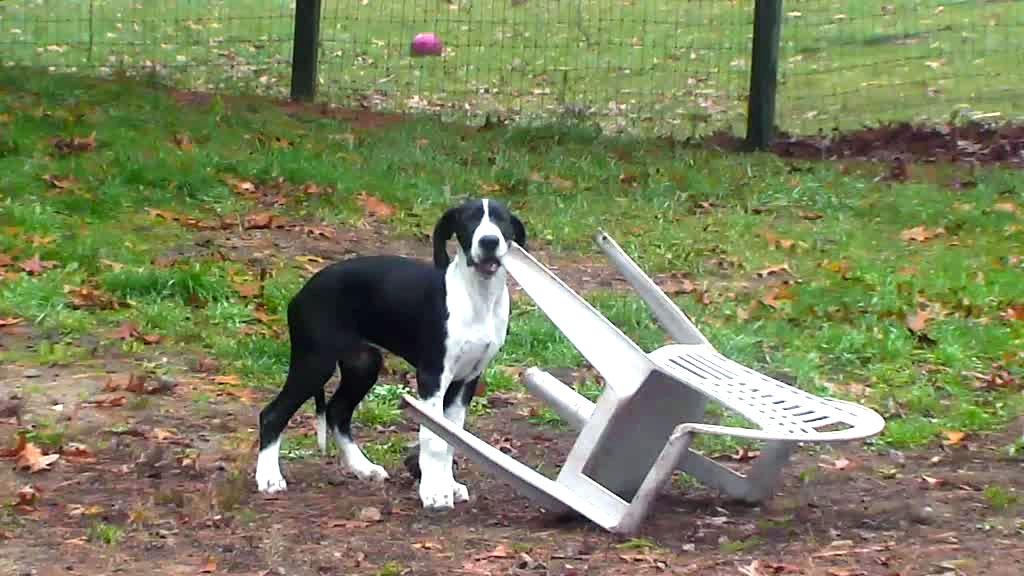 great dane service dog