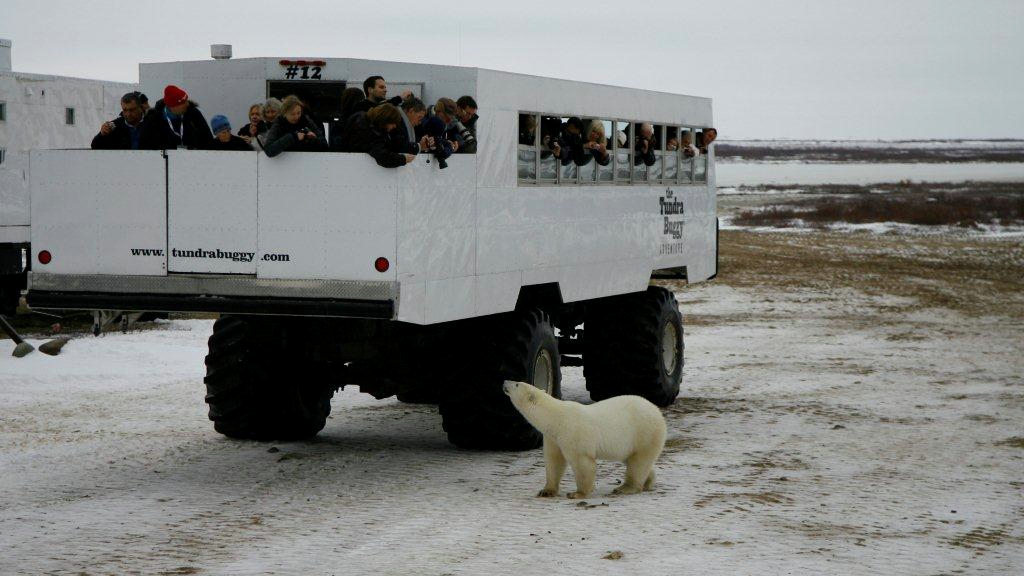 tundra buggy and polar bear