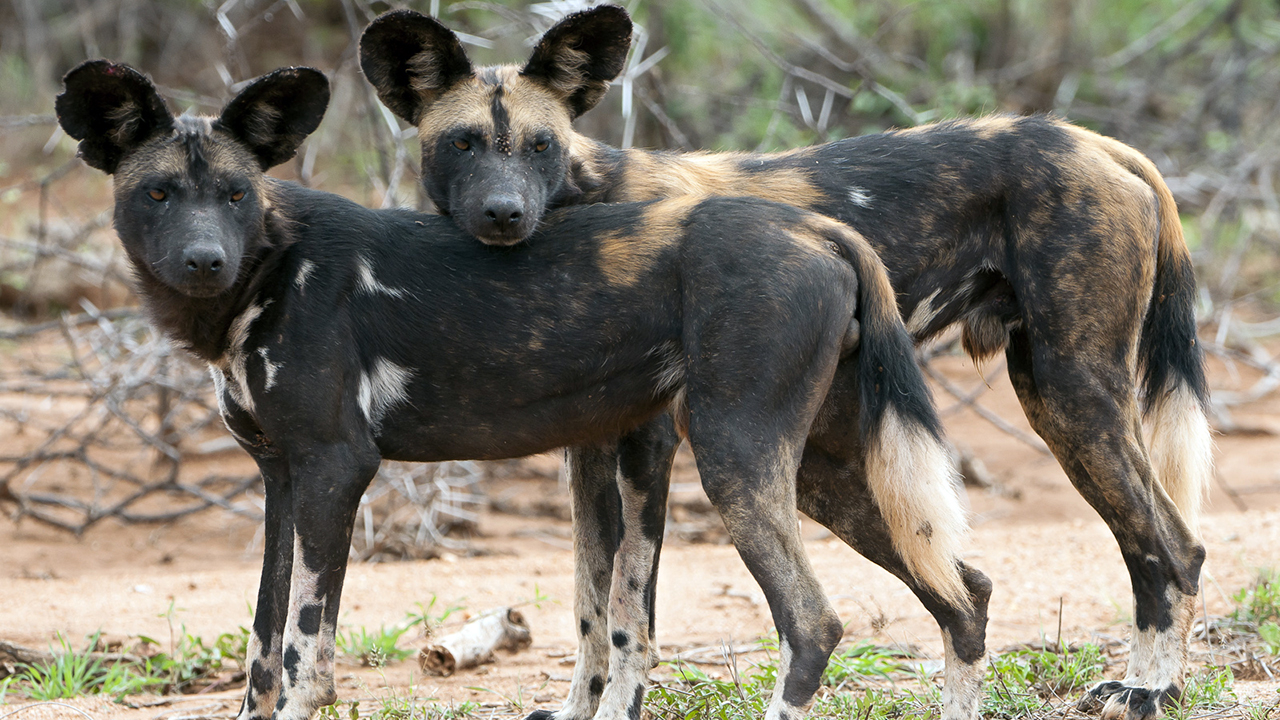 Can An African Wild Dog Breed With A Dog