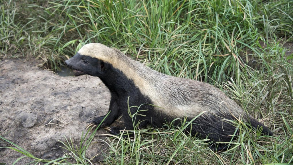 Honey Badger from Mpala Field Guide