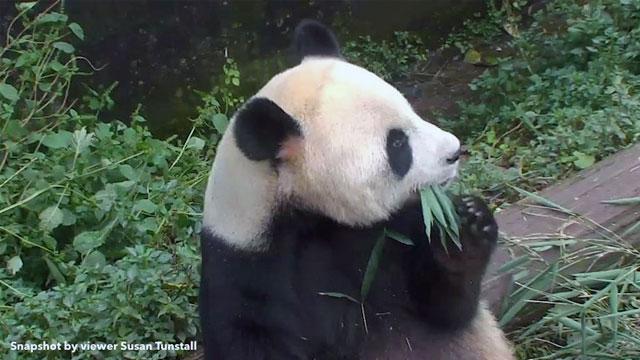 giant panda bear cub