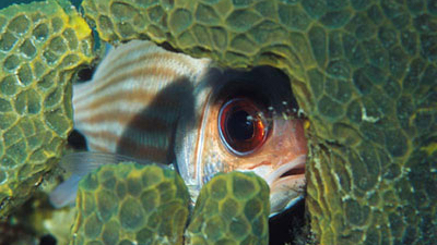 Squirrelfish the reef fish you want on your hide and for Big eye squirrel fish
