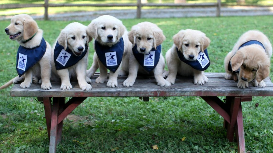 service puppies
