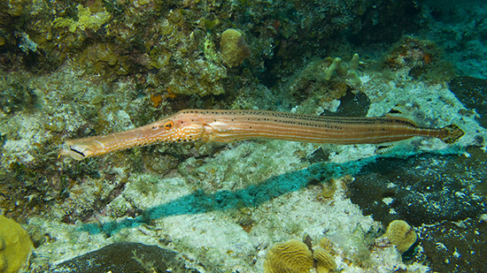 Trumpetfish (Aulostomus maculatus). Image from MarineBio.org