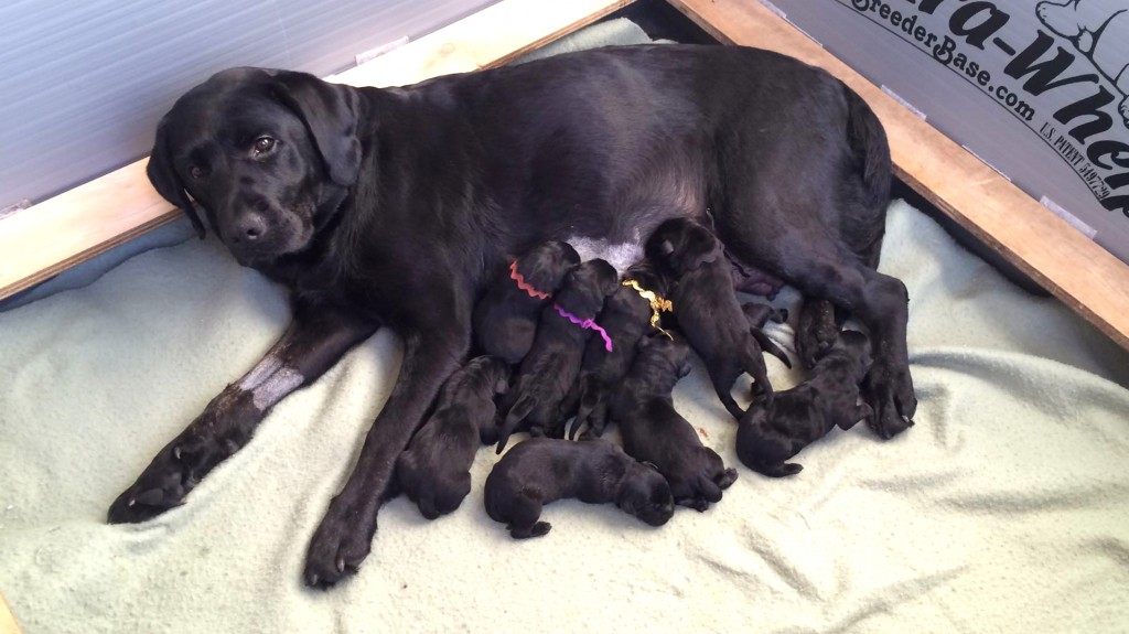 Anna and her 9 little Labs.