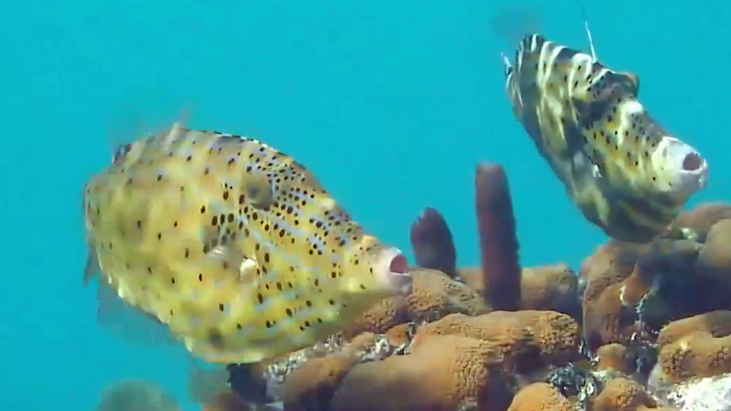 Cayman Scrawled Filefish