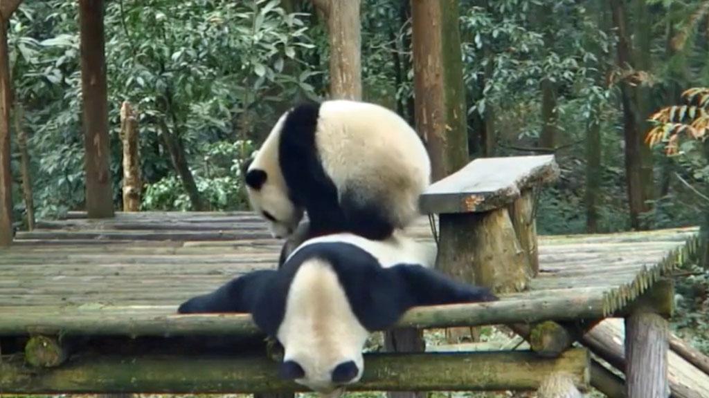 panda cub and mom