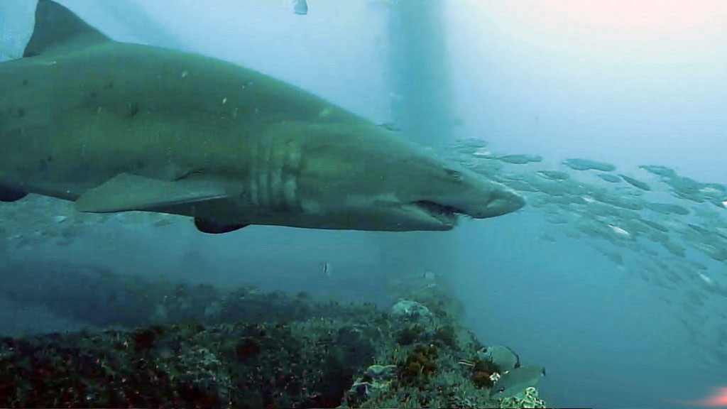 Frying Pan Shark Profile The Sandtiger Shark Explore