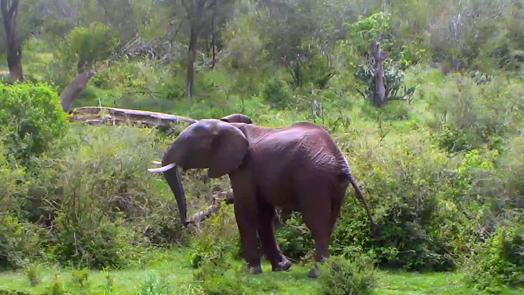 elephant standing in the brush
