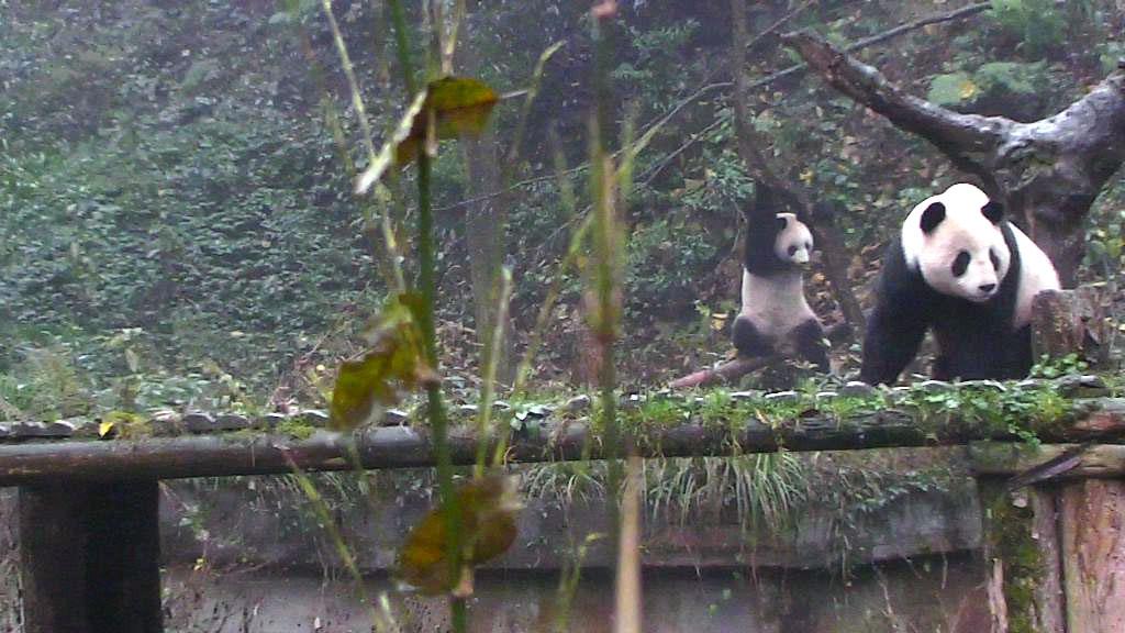 panda mom and cub