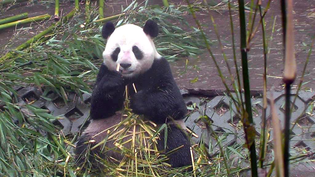 giant panda sitting and eating