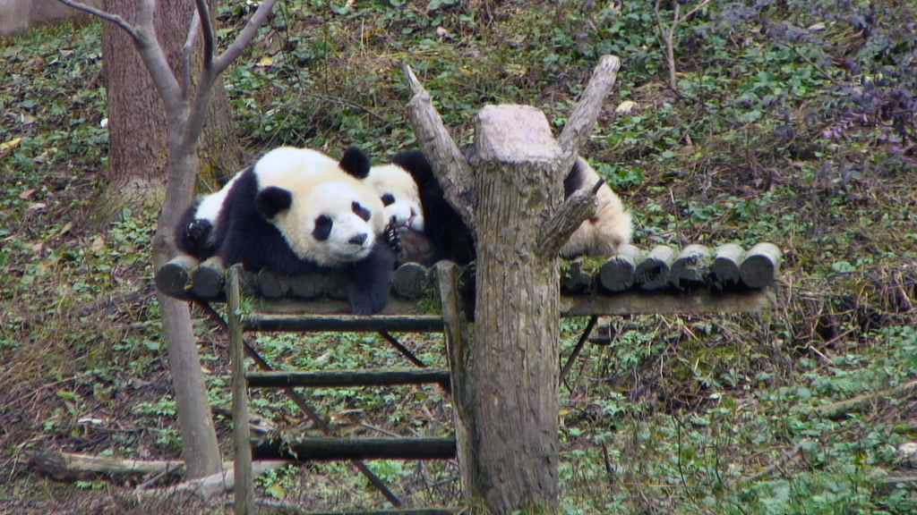 two pandas lying down and smiling