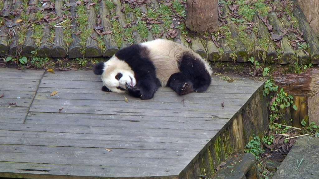 panda bear toddler napping