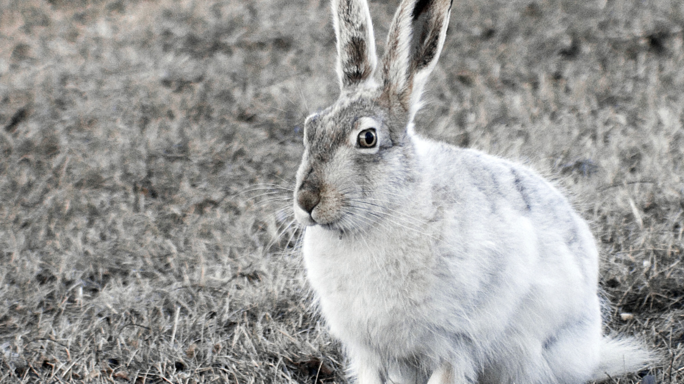 White-Tailed Jackrabbit. By Adam Lowe (Own work) [CC-BY-SA-3.0 (