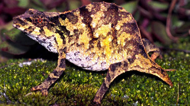 chapmans-pygmy-chameleon
