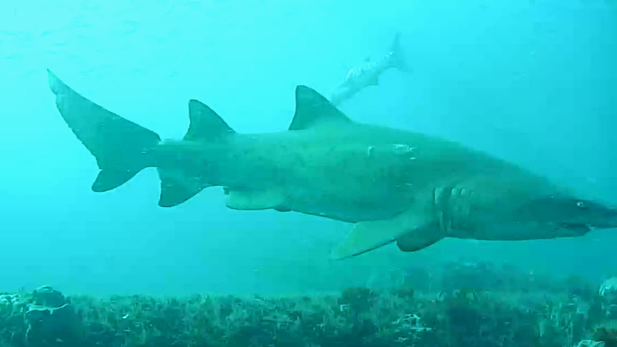 This shark is bright eyed and spiky tailed.