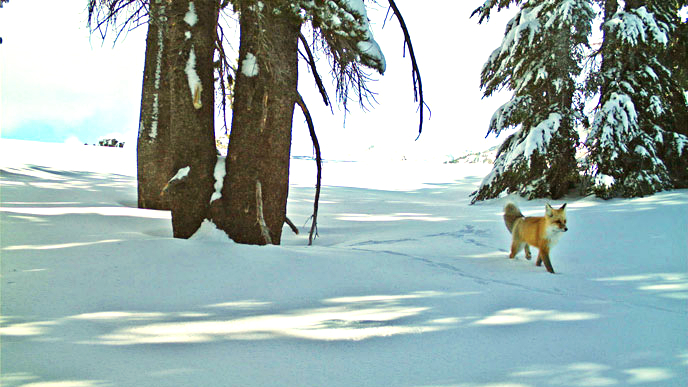 Snapshot of the Sierra Nevada Red Fox taken by motion-sensitive camera / NPS Photo