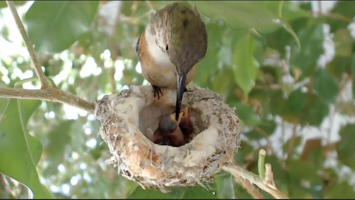 Bella Hummingbird feeds her her previous pair of chicks