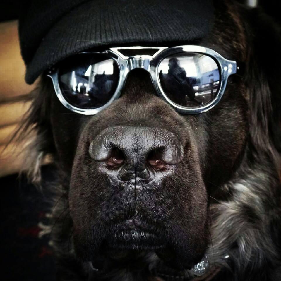 Boo is an English Mastiff that don't take no guff.