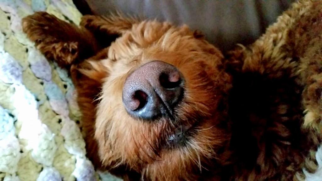 Porter is part Golden, part Poodle, all nose.