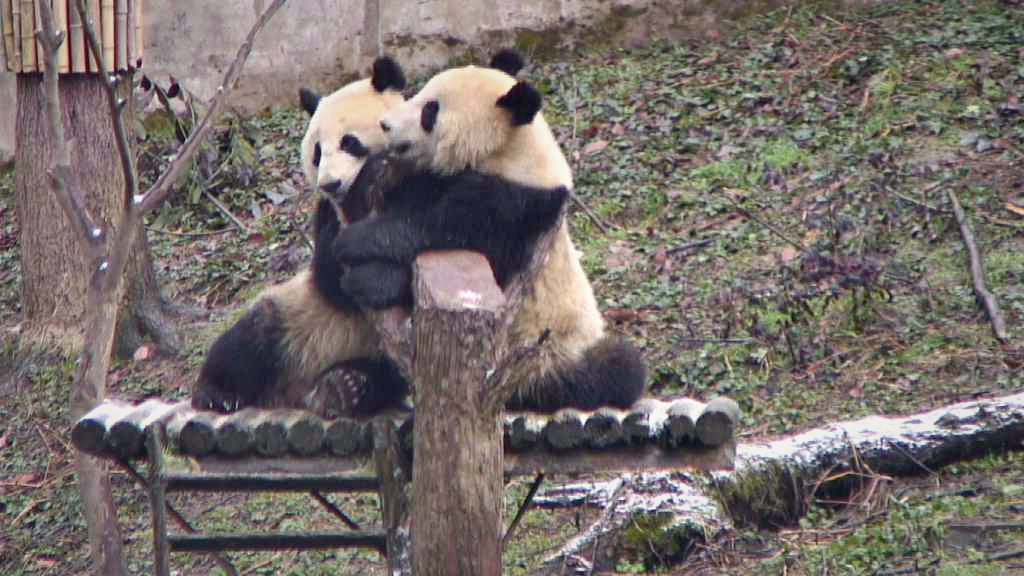 Giant Panda Toddlers Hug it Out.