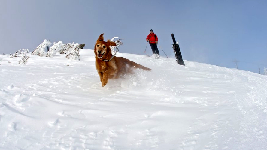 Avalanche Dog on a search and rescue drill