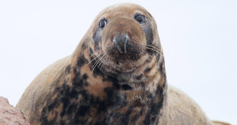 Grey Seal of Seal Island