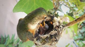 Name Heddy's Hummingbird Chicks!