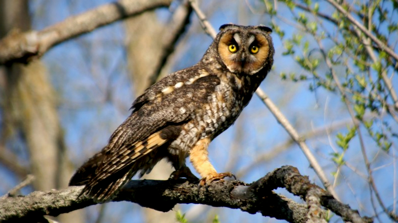 Long Eared Owls are back!