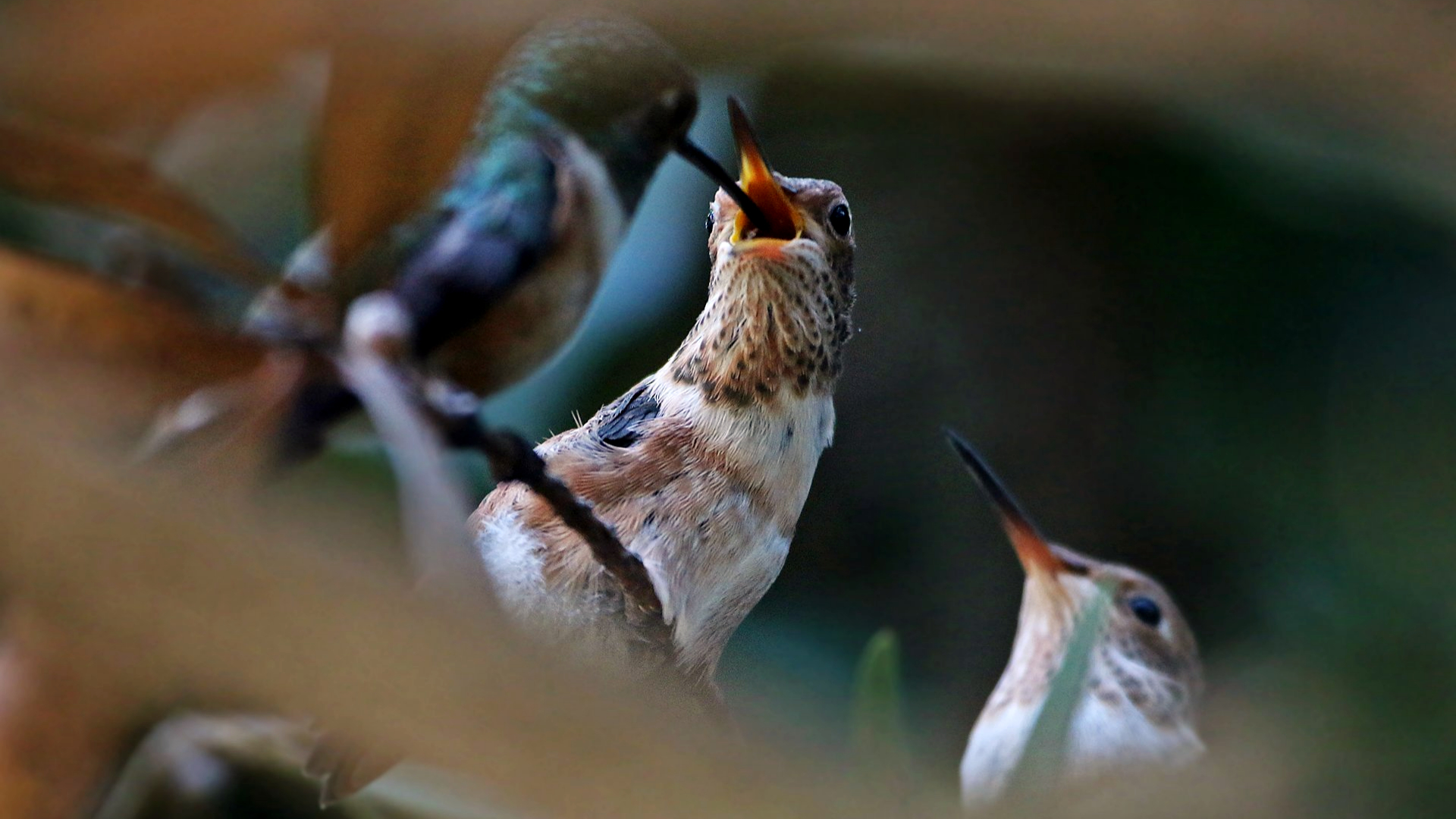 Hummingbird Fledge Update: Everything is Awesome! | Explore