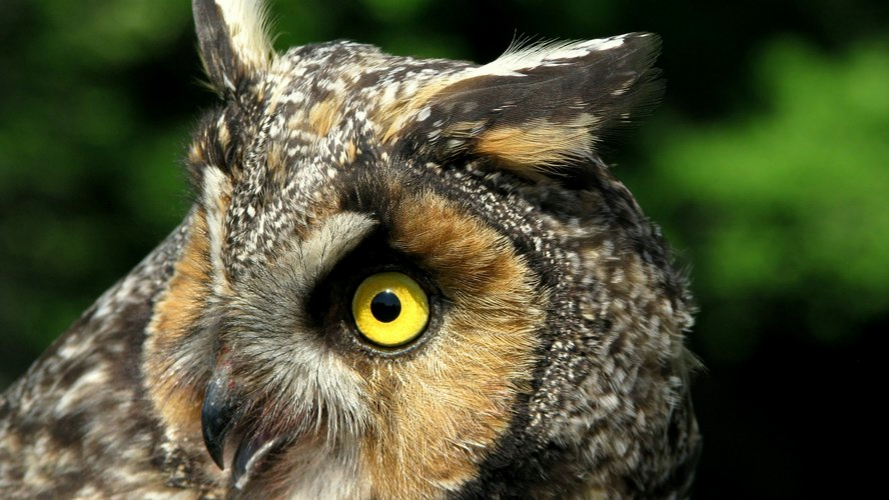 Listen in on the Long-eared owl cam