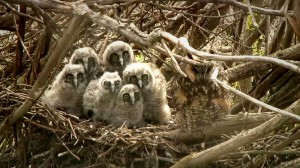 Video Update: Denver Holt on the Long Eared Owl Fledglings