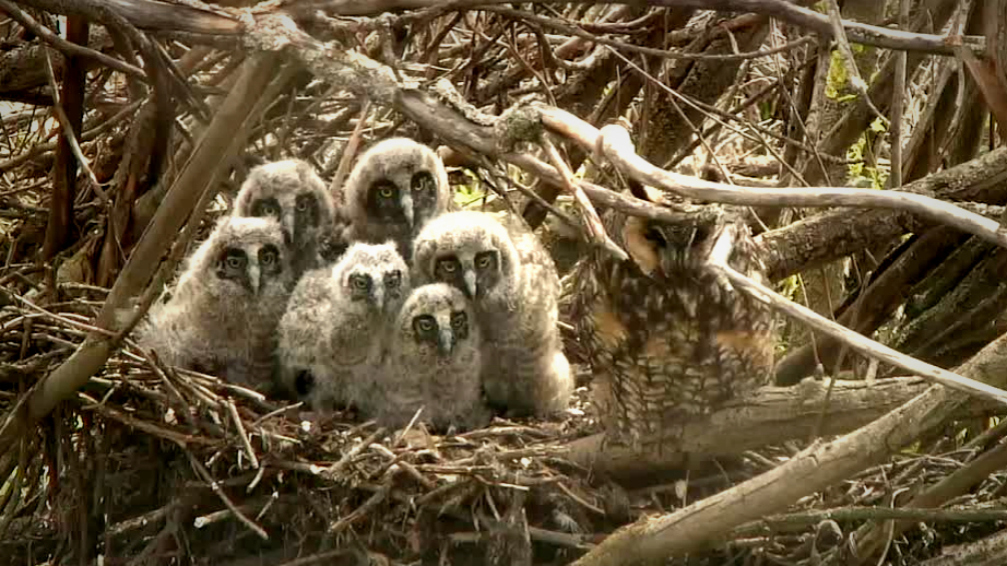 Long-eared owl mom and her fluffy chicks.