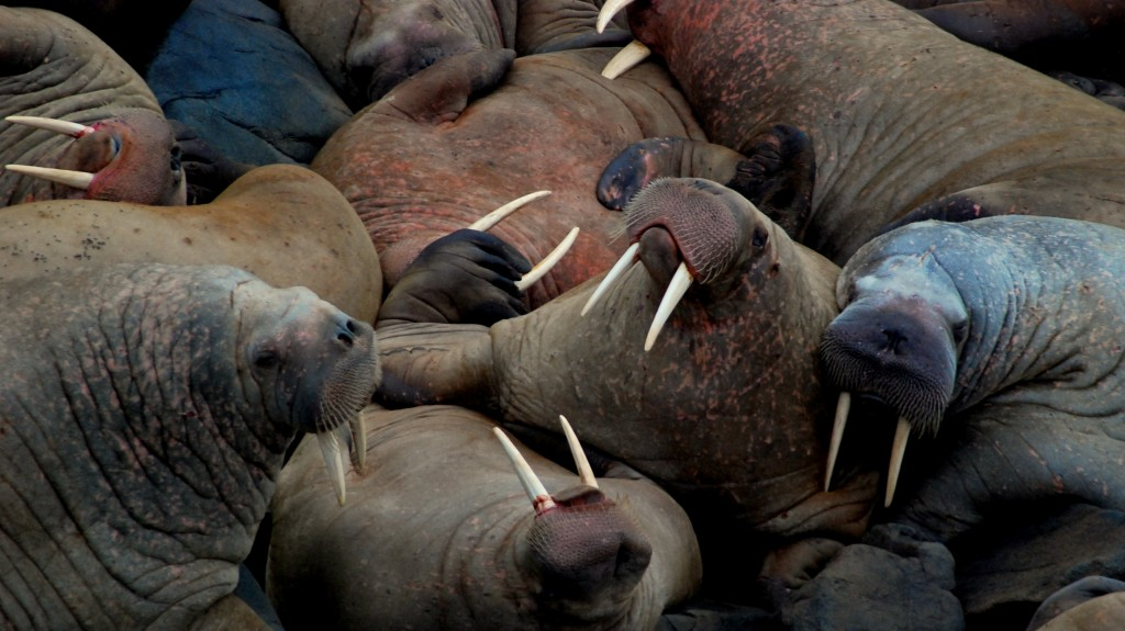 Pacific Walruses