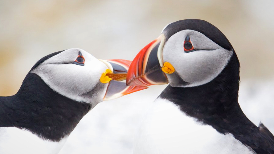 """Puffins court by """"billing""""."""