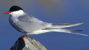 Meet One of the Oldest Arctic Terns Ever Recorded!