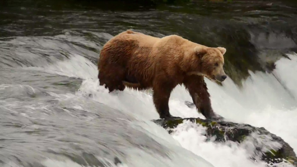 A Bear fishes at Brooks Falls