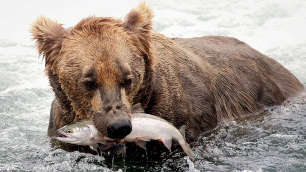 Brown Bear fishes for salmon