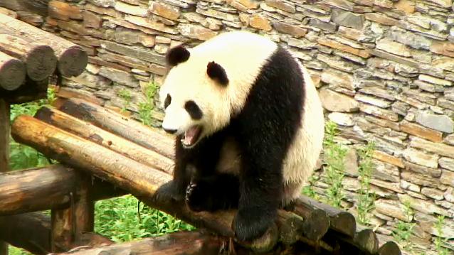Jia Jia, on the Gengda Valley Cam