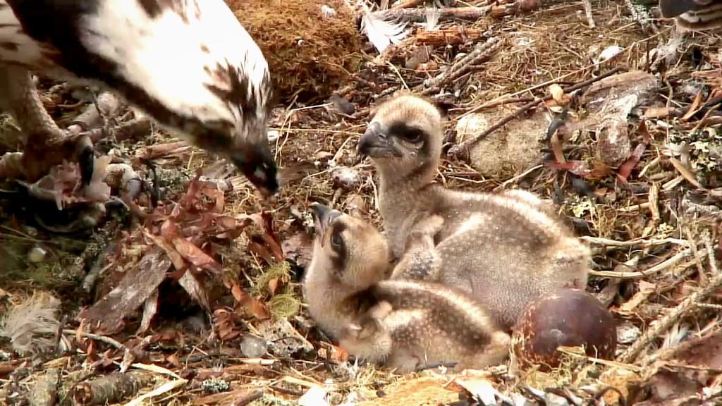 Rachel feeds her chicks