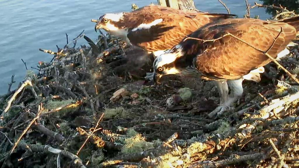 Steve and Rachel remain alone on their nest