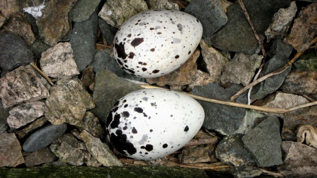Black Guillemot nest with eggs