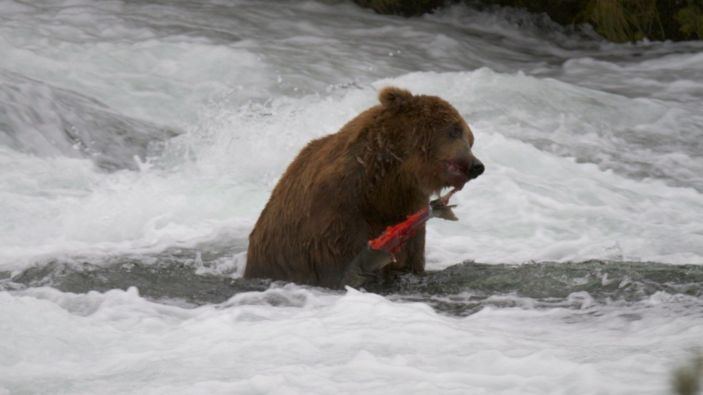 A brown bear has a salmon lunch