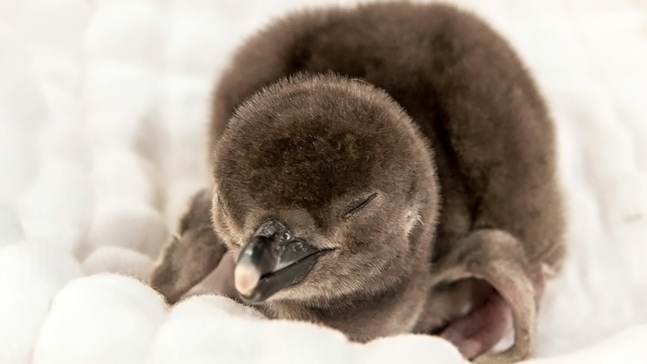 Magellanic Penguin Chick. Photo by Robin Riggs
