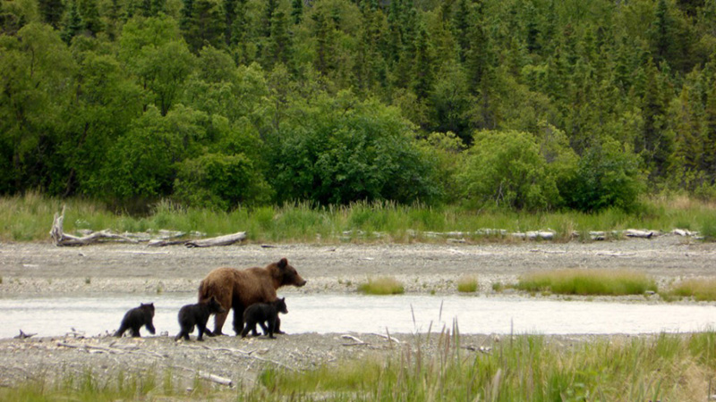 Mother bear with three cubs in Katmai National Park